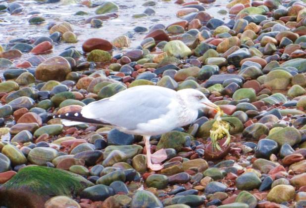 seagull-eating-crab