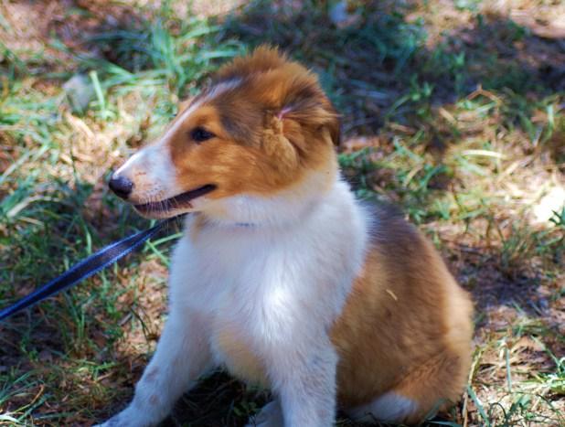 scot-puppy