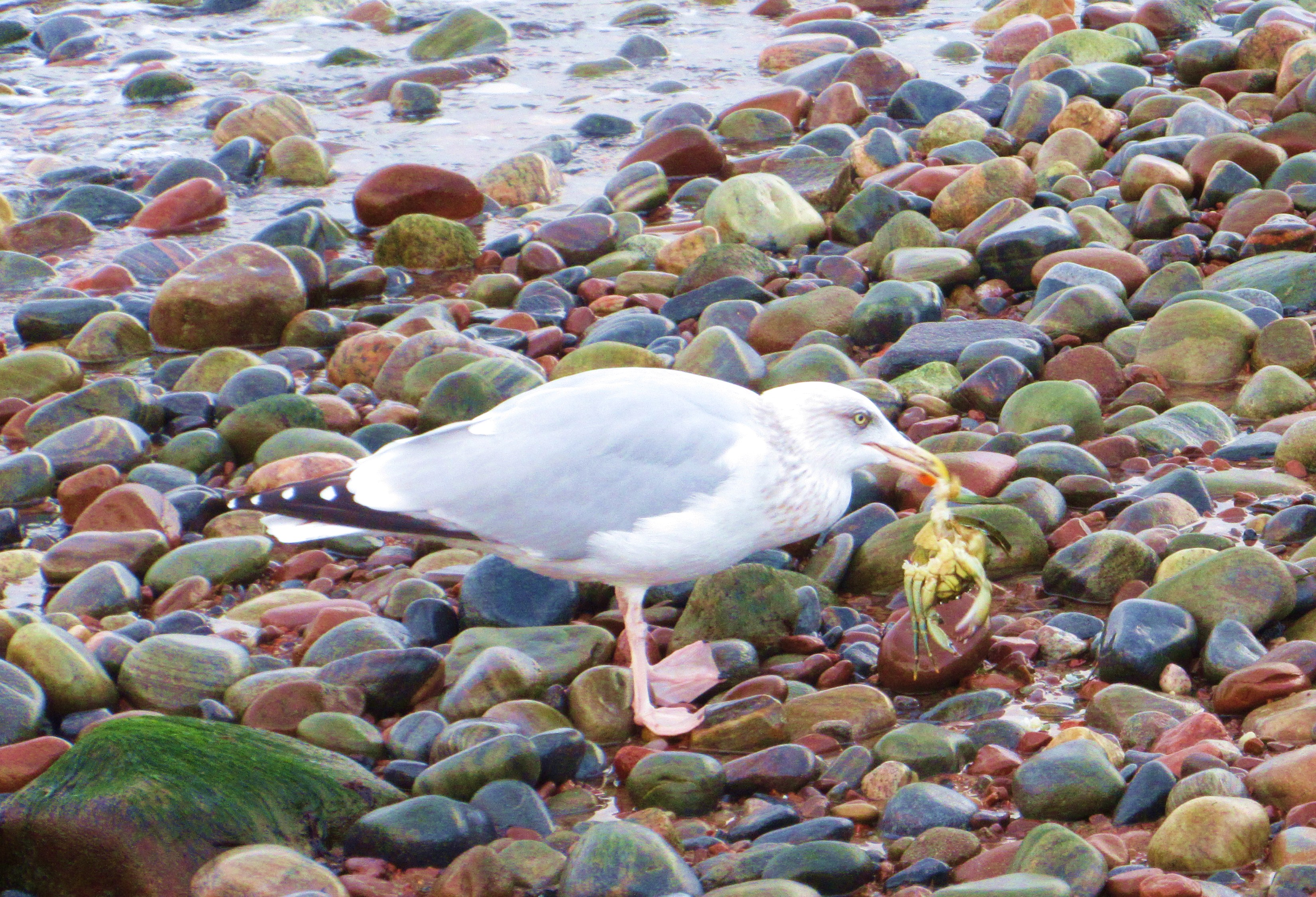 seagull eating crab