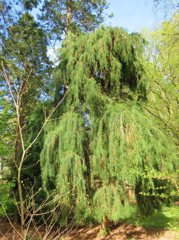 blog one Benmore weeping