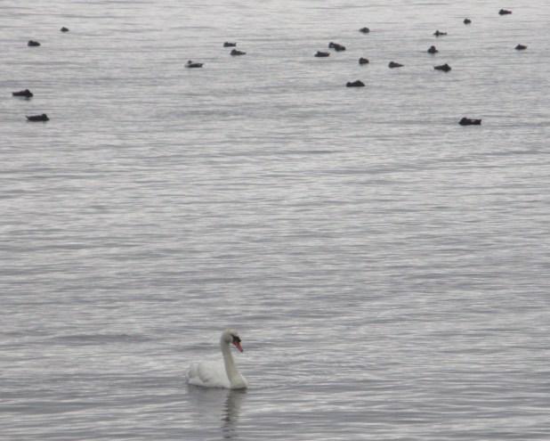07 swan in rain