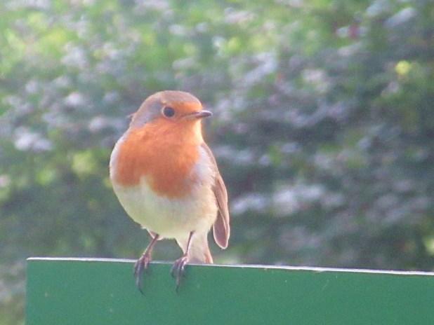 Scotland robin