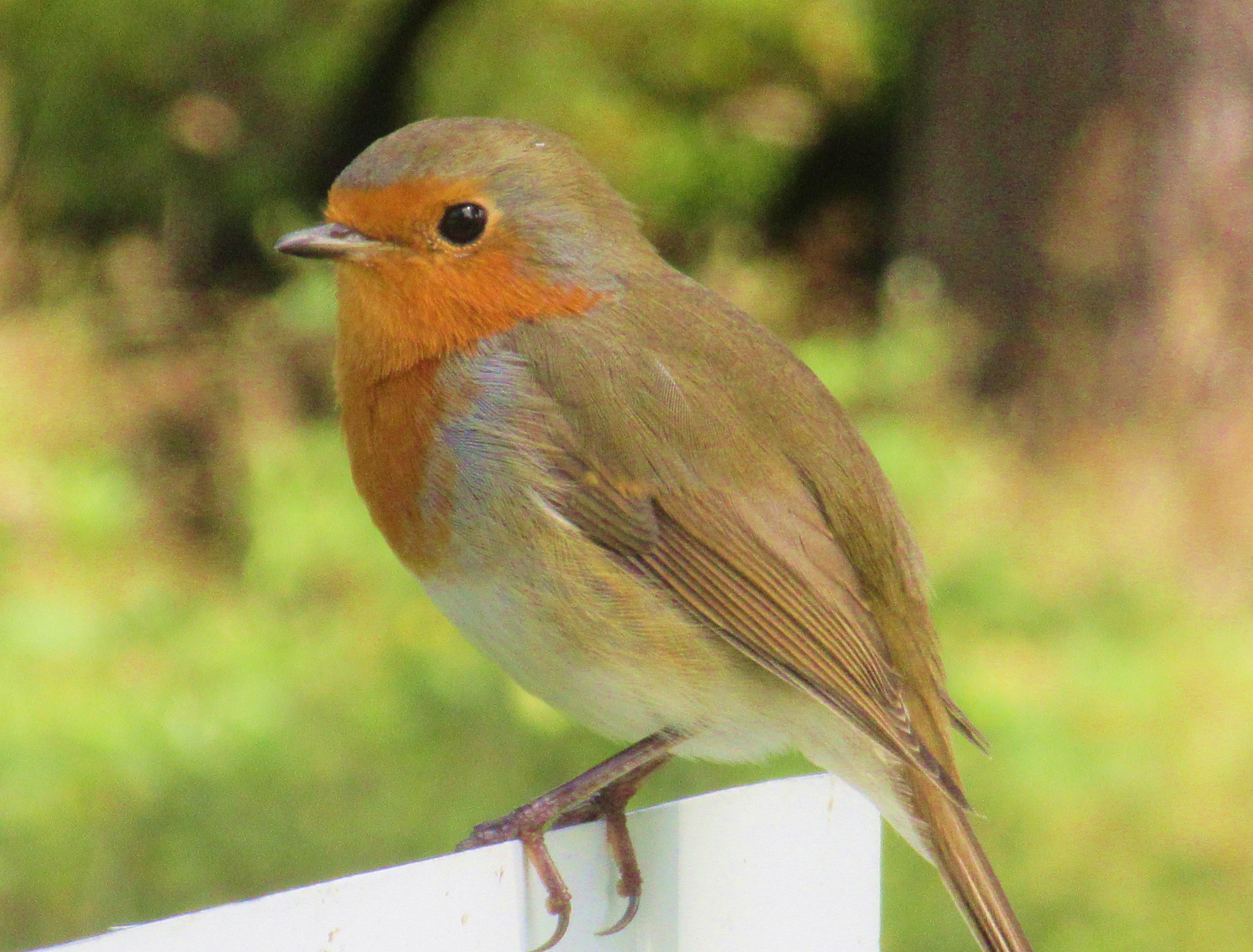 Scotland robin #2