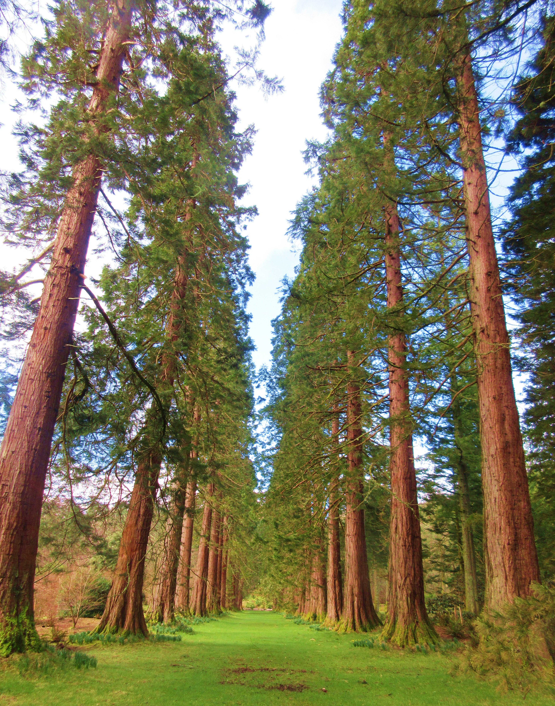 BG redwoods