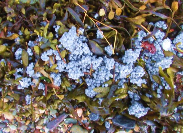 seaweed blooms