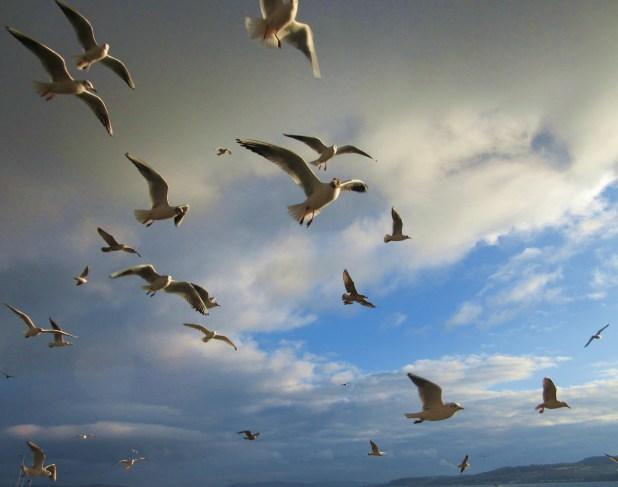 gulls 3