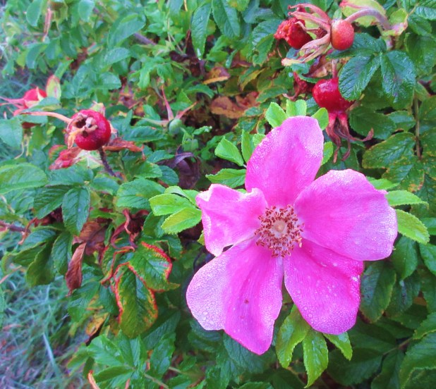 pink rose & rose hips