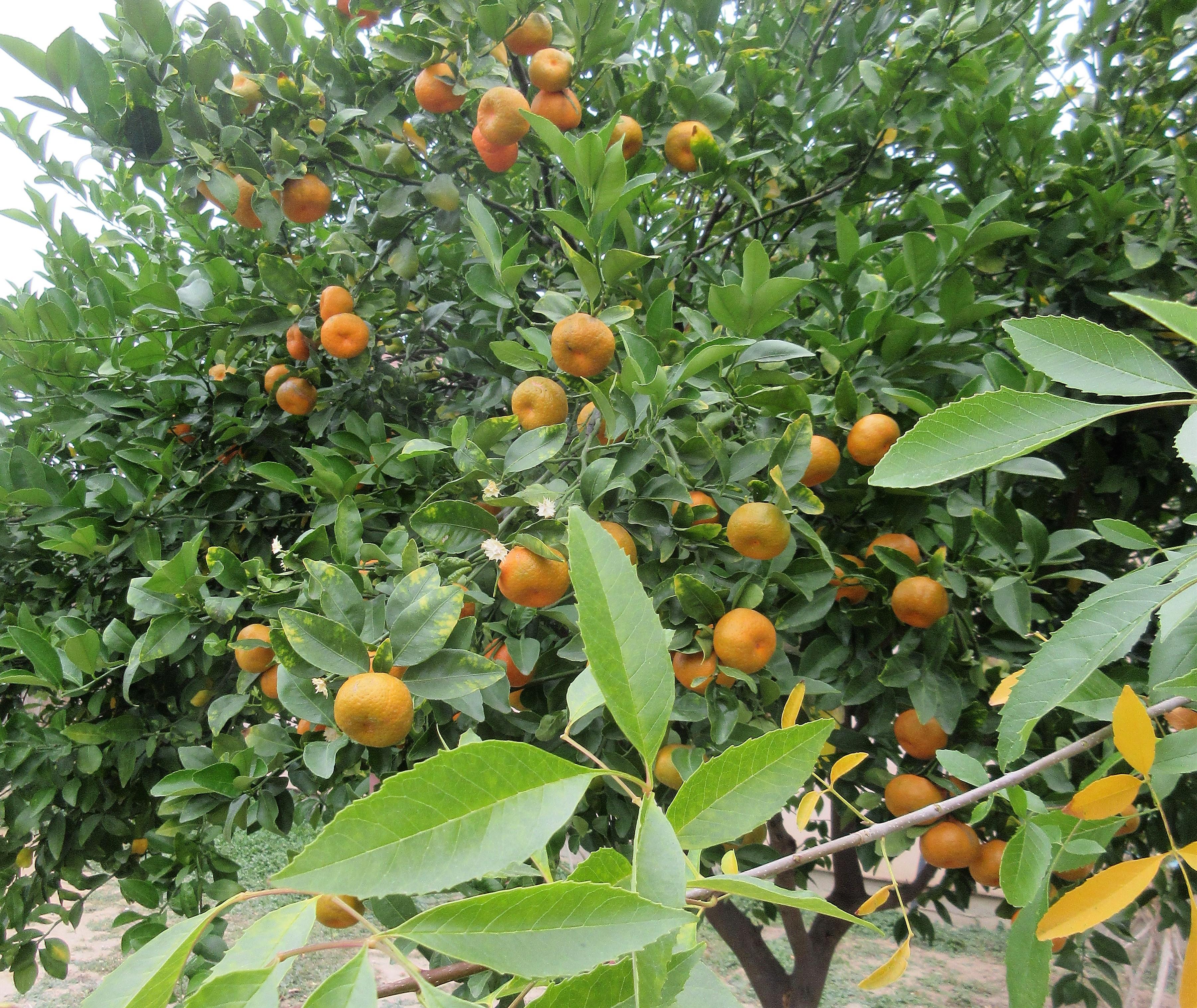 fruit tree TX
