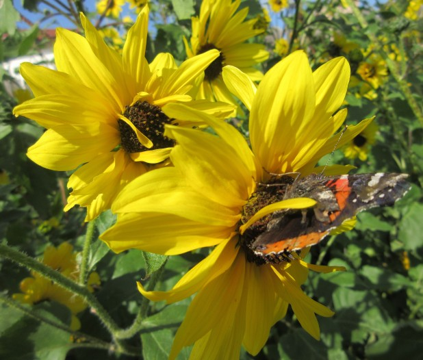 sunflowers and butterfly laredo december