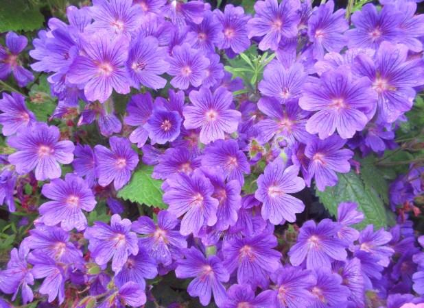 bunch purple