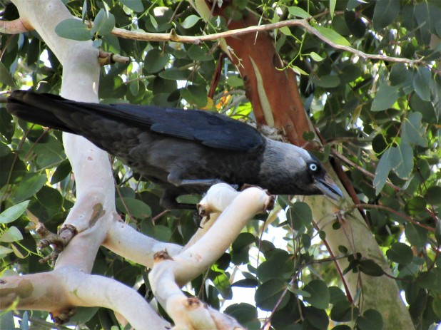 bird hooded crow tree